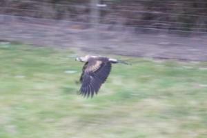 Eagle 06 (640x427)